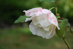Fading White Autumn Flower. White flower dappled in pink beginning to droop Royalty Free Stock Photos