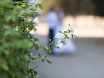 Fading white roses in a autumn park Stock Image