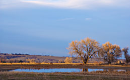 Fading Winter Sunlight On Bare Cottonwoods Stock Image