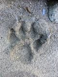 Fading Wolf paw print in sand of Canoe River, British Columbia, Canada. royalty free stock images