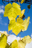 Fading yellow grape leaves on vine Royalty Free Stock Photos