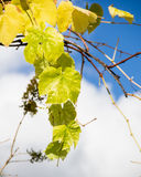 Fading yellow grape leaves on vine Stock Images