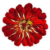Fading Zinnia Elegans Isolated on White Background Royalty Free Stock Photo