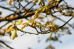 Fagaceae quercus robur timuki, small leaves of the tree only begin to grow. Spring, cluster of yellow-brown foliage on the branch, the beginning of growth Royalty Free Stock Image