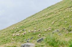 Fagaras góry, Carpathians z zieloną trawą i sheeps, Tran Zdjęcia Stock