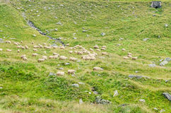 Fagaras góry, Carpathians z zieloną trawą i sheeps, Tran Fotografia Stock