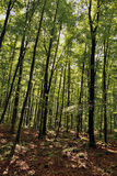 The Fageda d'en Jorda. Jord� beech is in the region of the Garrotxa, Girona. It sits on land formed by remnants of volcanic eruptions Royalty Free Stock Photos
