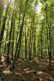 The Fageda d'en Jorda. Jord� beech is in the region of the Garrotxa, Girona. It sits on land formed by remnants of volcanic eruptions Stock Photos