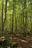 The Fageda d'en Jorda. Jord� beech is in the region of the Garrotxa, Girona. It sits on land formed by remnants of volcanic eruptions Stock Photo