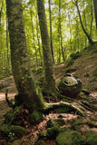 The Fageda d'en Jorda. Jord� beech is in the region of the Garrotxa, Girona. It sits on land formed by remnants of volcanic eruptions Royalty Free Stock Image