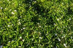 Fagerlindia-sinensis pflanzen sie im Garten als Hintergrund Stockbilder