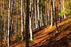 Faggi ed alberi di pini in autunno Fotografia Stock