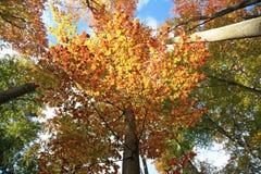 Faggio in autunno Immagine Stock Libera da Diritti