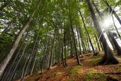 Faggio e pini dalla vista dal basso Fotografia Stock