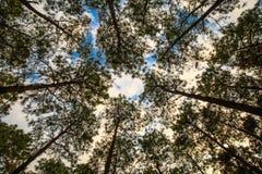 Faggio e pini dalla vista dal basso Immagine Stock