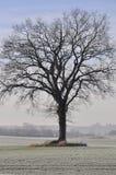 Faggio in inverno immagine stock