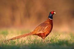 Fagiano comune, gallo maschio di colchicus del phasianus con chiaro fondo vago immagini stock libere da diritti