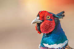 Fagiano del gallo Fotografia Stock