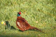 Fagiano del gallo dell'erba della rugiada y Fotografia Stock Libera da Diritti