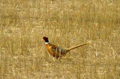 Fagiano di Ringneck Fotografia Stock