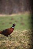 Fagiano maschio selvaggio Fotografie Stock