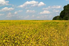 Fagioli crescenti nell'agricoltura del campo Fotografie Stock