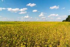Fagioli crescenti nell'agricoltura del campo Immagine Stock Libera da Diritti