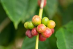 Fagioli del caffè Arabica che maturano sull'albero nel Nord della Tailandia Immagini Stock