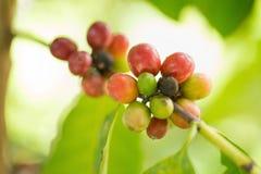 Fagioli del caffè Arabica che maturano sull'albero nel Nord della Tailandia Fotografie Stock Libere da Diritti