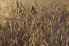 Fagioli della soia nel campo fotografia stock libera da diritti