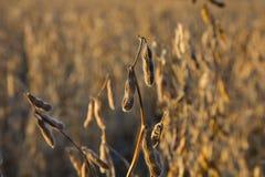 Fagioli della soia nel campo fotografia stock
