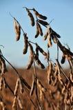 Fagioli della soia nel campo pronto a raccogliere Fotografie Stock Libere da Diritti
