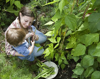 Fagioli di raccolto della madre e del bambino nel giardino Immagini Stock