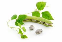 Fagioli maturi con il seme ed i fogli isolati Fotografie Stock Libere da Diritti