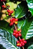 Fagioli rossi organici delle ciliege del caffè immagine stock