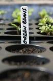 Fagioli verdi crescenti Fotografie Stock Libere da Diritti