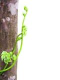 Fagiolino verde Fotografia Stock Libera da Diritti