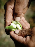 Fagiolo bianco in chiodo di garofano Immagine Stock Libera da Diritti