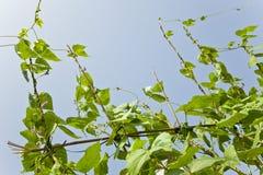 Fagiolo del giardino del fagiolo nano Fotografie Stock