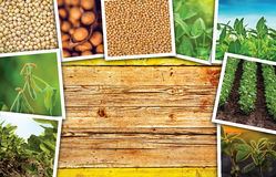 Fagiolo della soia che coltiva in collage della foto di agricoltura Immagine Stock Libera da Diritti