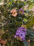 Fagiolo o Texas Mountain Laurel di Mescal Fotografie Stock Libere da Diritti