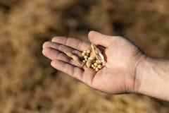 Fagiolo pronto della soia del raccolto Soia della tenuta della mano Fotografie Stock