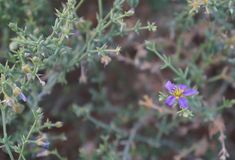 Fagonia Arabica blossom Royalty Free Stock Image