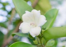Fagraea racemosa Javanica Royaltyfri Fotografi