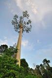 Fagueteana Shorea ή γιγαντιαίο δέντρο Mengaris στο τροπικό δάσος Sabah Μπόρνεο Στοκ Εικόνες