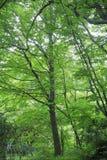 Fagus forest in Shirakami Sanchi. Aomori, Japan royalty free stock image