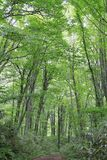 Fagus forest in Shirakami Sanchi. Aomori, Japan royalty free stock images