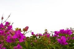 fah ροζ πλαισίων λουλουδ& Στοκ φωτογραφία με δικαίωμα ελεύθερης χρήσης