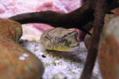 Fahaka-Pufferfish Stockfoto