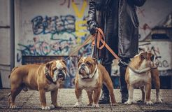 Fahionable man holding three English bulldogs. Three adult English bulldogs posing outdoor,selective focus Royalty Free Stock Image